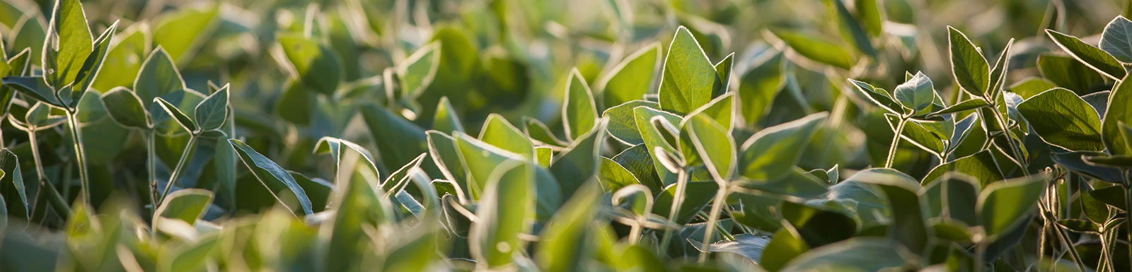 Close up of soybean plants